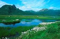 cotton_grass Eriophorum spec., moore lake, with cotton_gras, Norway, Vesteralen