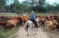 Australian stockhorse Equus przewalskii f. caballus, stockman driving cattles, Australia