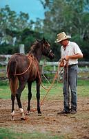 Australian stockhorse Equus przewalskii f. caballus, stockman, educating a young horse, Australia