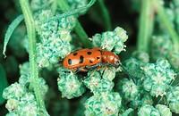 leaf beetle Crioceris duodecimpunctata, Crioceris 12_punctata.