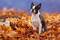Boston Terrier / autumn foliage