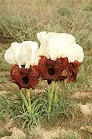 bearded iris Iris iberica elegantissima, group of blooming plants, Turkey, East Anatolia, Ararat, Dogubayazit