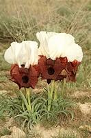 bearded iris Iris iberica elegantissima, group of blooming plants, Turkey, East Anatolia, Ararat, Dogubayazit