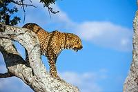 Leopard (Panthera pardus), Masai Mara Nature Reserve, Kenya, East Africa