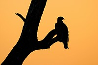 Tawny Eagle (Aquila rapax), silhouette against the red evening sky, Masai Mara Nature Reserve, Kenya, East Africa