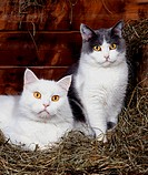 domestic cat, house cat Felis silvestris f. catus, two animals side by side in the hay