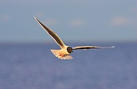 little gull Larus minutus, flying, Finland