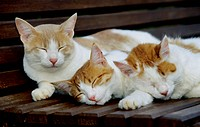 domestic cat, house cat Felis silvestris f. catus, three individuals sleeping on a bench