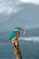 river kingfisher Alcedo atthis, with prey in bill, Germany