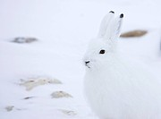 White rabbit standing in snow