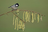 Coal Tit Parus ater, perched on flowering hazelnut branch, Germany