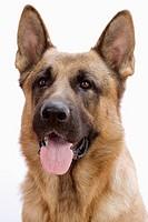Retrato frontal de perro pastor alemán