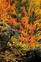 European aspen Populus tremula, autumn colours, Finland, Oulu, Kuusamo