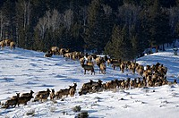 Herd of Elks, Cervus canadensis