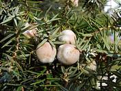 prickly cedar, cade Juniperus oxycedrus, cones, Spain, Majorca