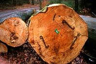 common beech Fagus sylvatica, Logged trunks, Germany, North Rhine_Westphalia, Sauerland
