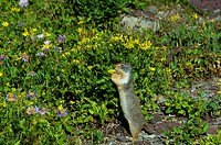 columbian ground squirrel, spermophilus columbianus, glacier national park, USA, Montana, meadow, flowers, nature,