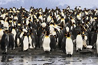 king penguin Aptenodytes patagonicus, colony, Antarctica, Suedgeorgien