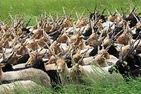 Walachian Ovis ammon f. aries, herd, Hungary, Neusiedler See, Nationalpark Fertoe_Hanság