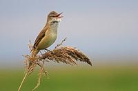 great reed warbler Acrocephalus arundinaceus, on reed, Austria, Burgenland, NP Neusiedler See_Seewinkel