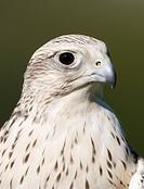 Falcon, Gyrfalcon-Saker Falcon (Falco hybrid), portrait, Daun wildlife park, Vulkaneifel area, Rhineland Palatinate, Germany, Europe