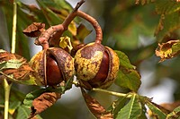 common horse chestnut Aesculus hippocastanum, mature fruits with pellicules on a tree