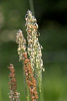 meadow foxtail grass Alopecurus pratensis, blooming