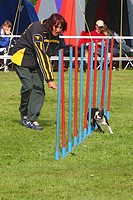 Boston Terrier Canis lupus f. familiaris, negotiating weave poles, Germany