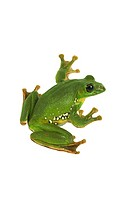 Blanford´s whipping frog, asian gliding tree frog, asian gliding treefrog Rhacophorus dennysi