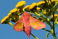 Small Elephant Hawk-moth (Deilephila porcellus) on chicory, Bavaria, Germany