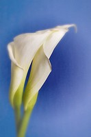 Close up detail of two open Calla Lily Flowers Entwined together