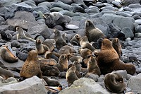 northern fur seal Callorhinus ursinus, group, USA, Alaska, Pribilof Island, St. Paul Island