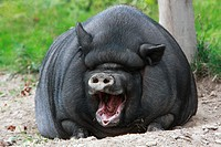 Vietnamese Pot-bellied Pig yawning