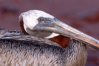 Portrait of a Brown Pelican Pelecanus occidentalis, Insel Rapida, Galapagos Inseln, Galapagos Islands, Ecuador, South America