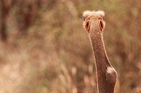 ostrich Struthio camelus, portrait view from behind, Kenya, Tsavo West National Park