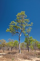 Eucalyptus, Mount Carbine, Queensland, Australia