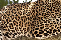 leopard Panthera pardus, fur pattern, Kenya, Masai Mara National Reserve