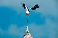 white stork Ciconia ciconia, landing