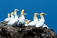 northern gannet Sula bassana, Morus bassanus, colony on a rock, Germany, Schleswig_Holstein, Heligoland
