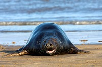 gray seal Halichoerus grypus, lying on the beach, Germany, Schleswig_Holstein, Heligoland