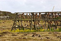 drying stand with stock fish, Iceland