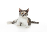 British Shorthair cat _ kitten _ lying _ cut out