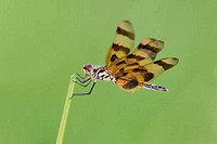 Halloween Pennant Celithemis eponina perching on a stem