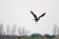 Western Marsh_harrier _ flying / Circus aeruginosus