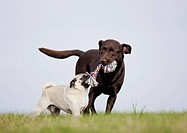 pug dog and Labrador Retriever dog _ playing on meadow