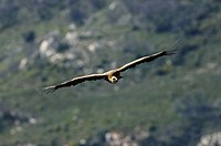 griffon vulture Gyps fulvus, single animal flying, Spain, Pyrenaeen, Mallos de Riglos, Riglos