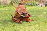 Rhodesian Ridgeback Canis lupus f. familiaris, playing in meadow