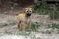 Dingo or Warrigal Canis lupus dingo, puppy, Fraser Island, Queensland, Australia