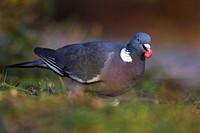 wood pigeon Columba palumbus, looking for food on the ground, Germany, North Rhine_Westphalia