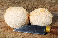 Two lion´s mane mushrooms Hericium erinaceus with a knife